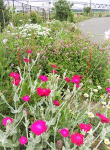生態系を重要視している「新横浜公園バタフライガーデン」は、蝶とミツバチが集まる花壇として新横浜町内会や町の有志が中心となり手入れをしている(臼井義幸さん提供)