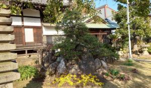 金蔵寺に植えられた「横綱武蔵山遺愛の松」(2020年12月、林宏美さん撮影)