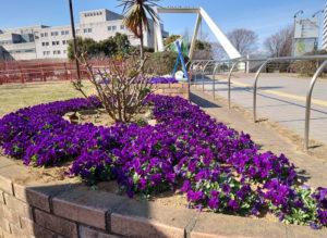 新横浜駅前公園の花壇は新横浜町内会が管理しており、美しい花で見る人を楽しませてくれる。花壇の向こうに見える横浜労災病院は鳥山川の対岸で、住所は小机町になり、地区としては城郷地区(2021年3月、林宏美さん撮影)