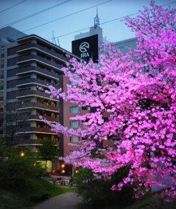 桜のライトアップ実験も「好評だった」と市みどりアップ推進課の小田嶋鉄朗課長からも説明が。「桜で地域イベントを」といった激励の声も(新横浜町内会・金子清隆会長撮影・提供)