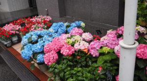 雨の取材日、店頭を彩る紫陽花(あじさい)の花たちも、ホテルの花店らしい季節感を演出していた(5月13日)