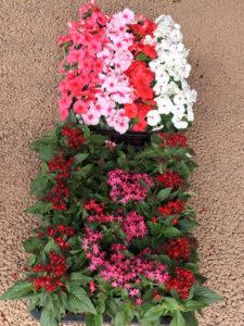 この日植えられた日々草とペンタスの花(手前)。いずれも夏の暑さに負けない「強さ」を持つ花だという